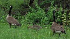 Image of two geese and young