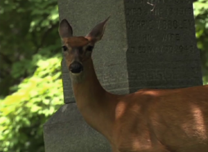 White Tail Deer in Rockville Cemetery