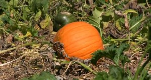 Butlers Pumpkin Patch