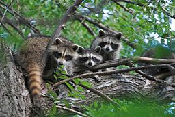 Breaking and entering homes to find refuge, raccoons can be expensive intruders. Photo by Buchanan Bill, U.S. Fish and Wildlife Service.