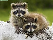 Our relentless neighbors, the North American Raccoons. Photo taken by  flickr user garyjwood .