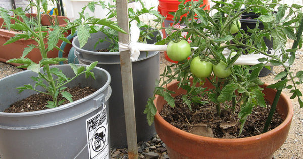 photo of tomato plants