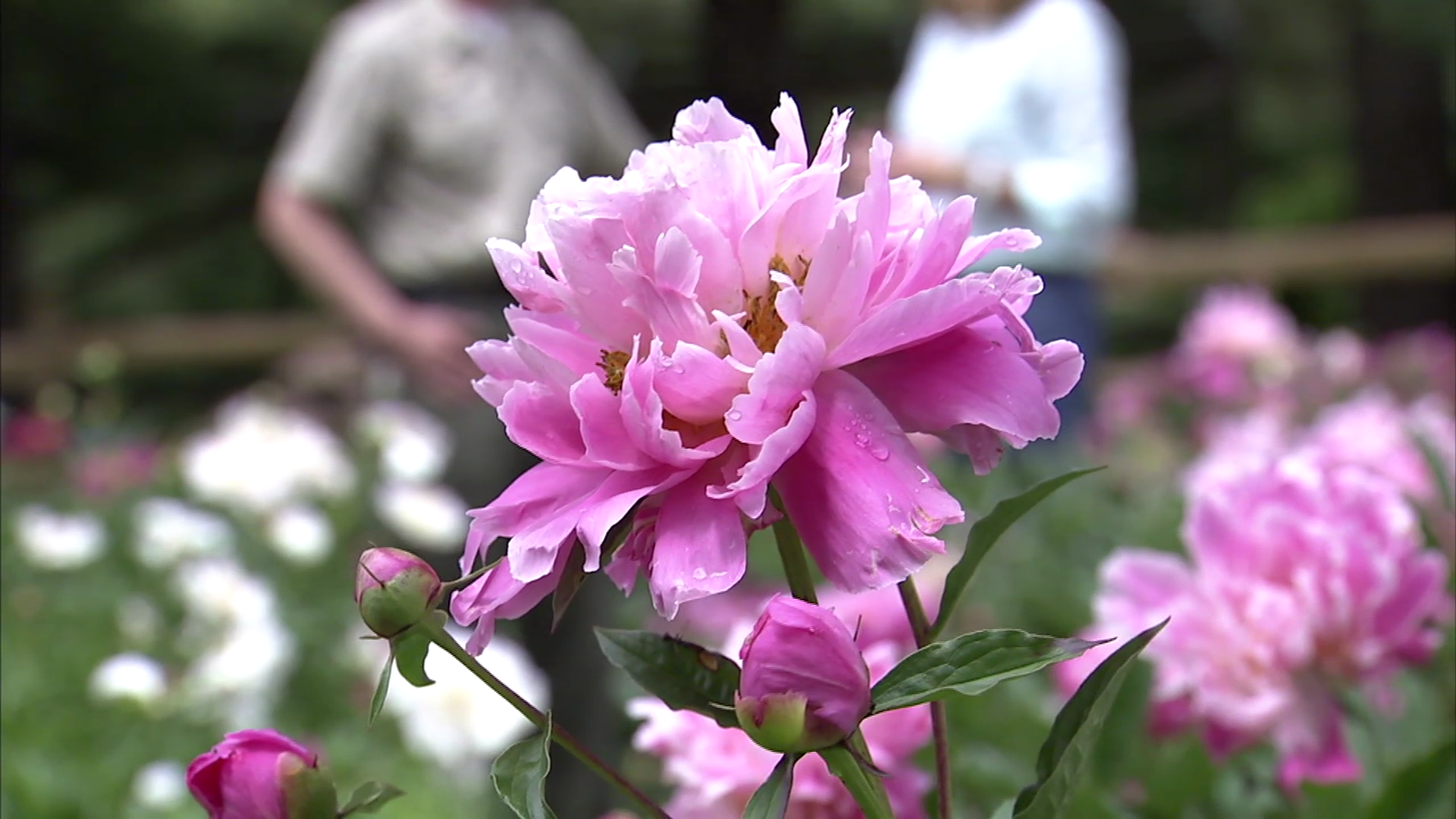 photo of Peonies at Seneca Creek State Park