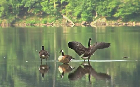 photo of geese at Lake Needwood