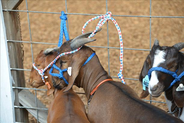 photo of billy goats at the 2013 fair