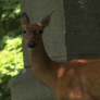 Montgomery Parks To Begin Annual Deer Reducing Program