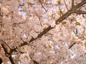 Cherry Blossoms up close. (c) Diana Belchase
