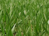 Grass Close Up 450x280