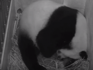 Mei Xiang Giving Birth to Second Cub Aug. 22 at 10 07 p.m.   YouTube