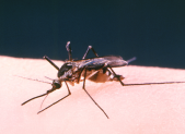 Aedes triseriatus mosquito PHOTO | CDC/ Robert S. Craig