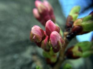 Kenwood cherry blossom macro 1 3_18_16  Twitter