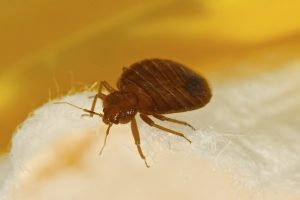 Bed Bug iStock_000054168464_Large