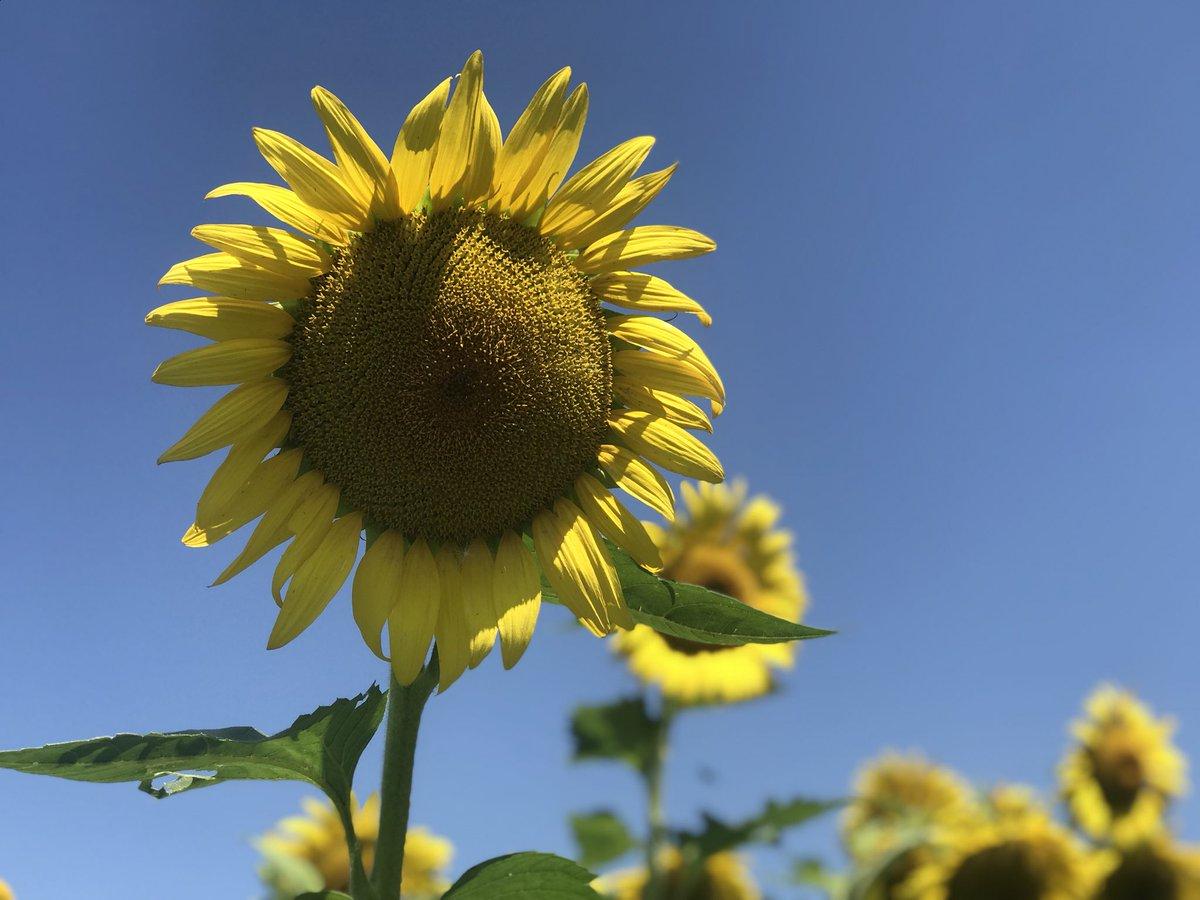 Sunflower Field at McKee-Beshers Wildlife Management Area