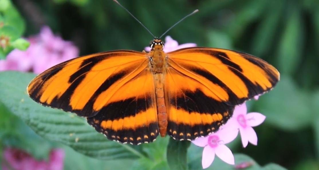 deb0da08b Wings of Fancy Live Butterfly Exhibit Back in Full Swing ...