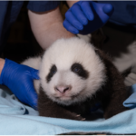 Cuteness Overload: National Zoo's Panda Cub Undergoes Second Vet Exam