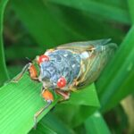 Cicadas: They're Loud, Gross and Harmless...and Coming to a Yard Near You