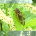 Brookside Gardens is Protecting Select Trees from Cicadas