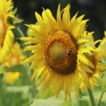 Sunflower Spectacular in Germantown